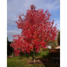 Клен красный Red Sanset(Acer rubrum 'Red Sunset')