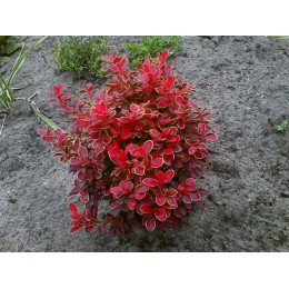 Барбарис тунберга Admiration(Berberis thunbergii Admiration)